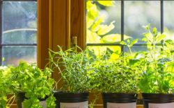piante aromatiche in casa